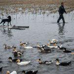 مدیر جهاد کشاورزی فریدونکنار خبرداد: اختصاص 50 هکتار شالیزار به کشت همزمان برنج و اردک در فریدونکنار
