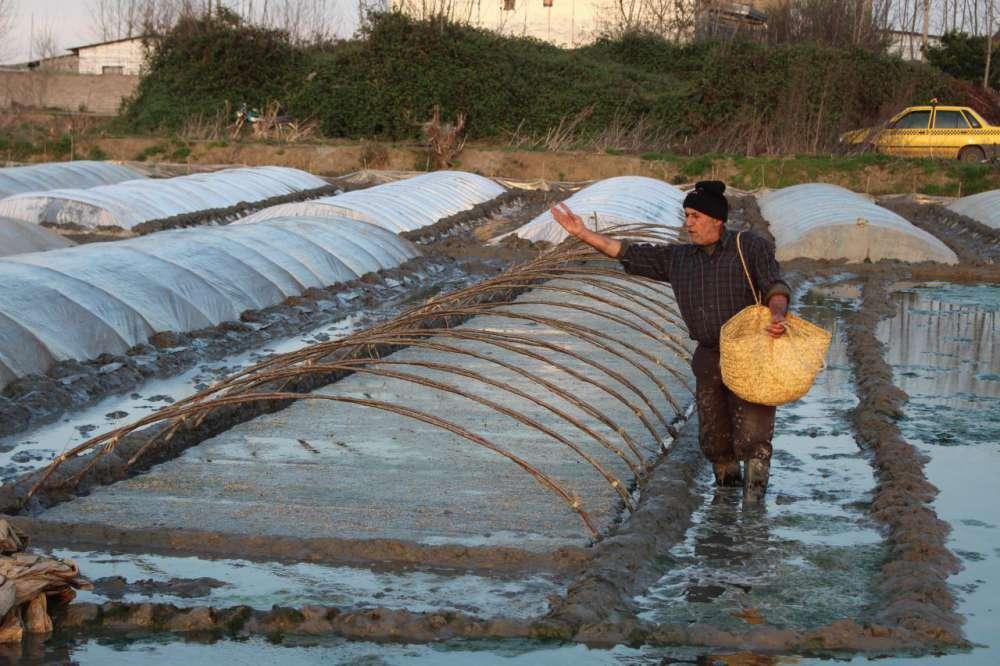 گزارش تصویری از آماده سازی خزانه ی برنج در فریدونکنار