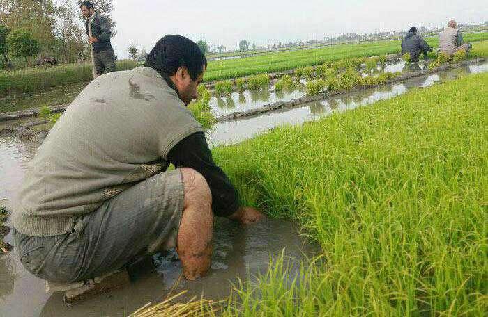 ظرفیتهای تحقق اقتصاد مقاومتی در فریدونکنار؛ بیش از ۶ هزار هکتار زمین کشاورزی فریدونکنار تشنه حمایت مسئولان/ لزوم حمایت همهجانبه مسئولان برای تحقق برند جهانی برنج فریدونکنار