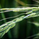 تکرار تراژدی تلخ واردات برنج در مازندران/ مسؤولان به کمک برنجکاران بیایند