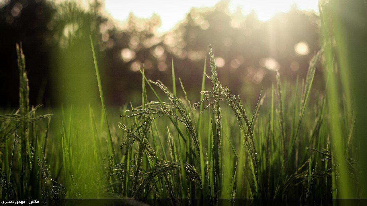 با رد همه سر و صداها تاکید شد: سلامت ۹۹ درصدی برنج شمال