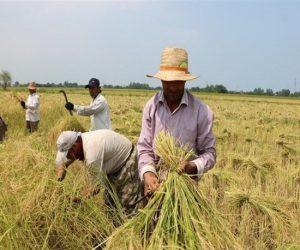 هزارتوی مشکلات کشاورزان؛ تنِ خسته برنجکاران شمالی از واردات و دلالان/ دود بیتدبیری به چشم کشاورزان میرود