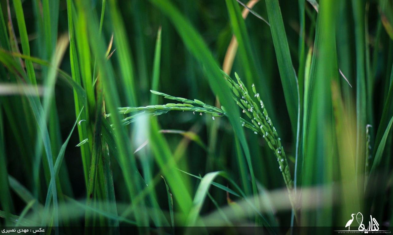 مدیر جهاد کشاورزی فریدونکنار اعلام کرد