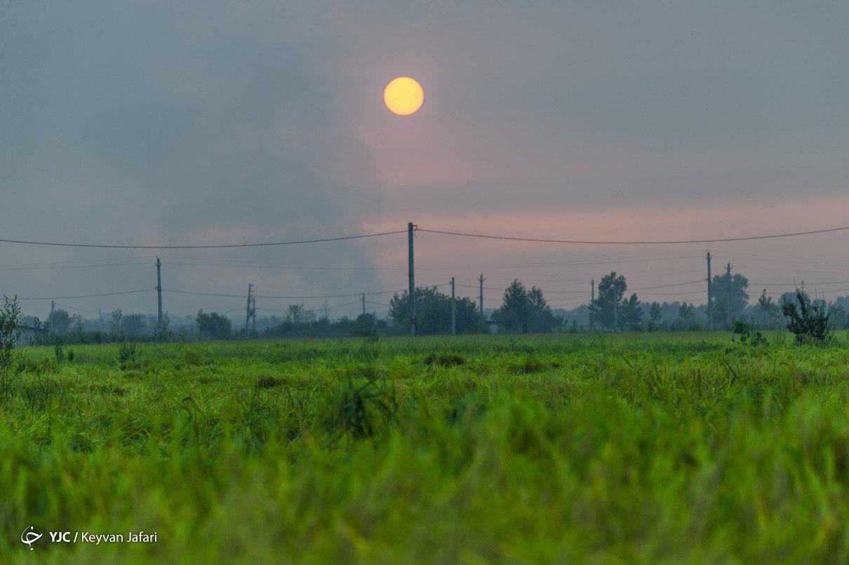 برداشت برنج در شالیزارهای مازندران